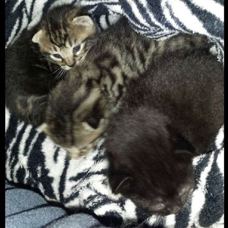 All 3 beauties ♡♡ Babies Obsessed Kittens Icant adorable