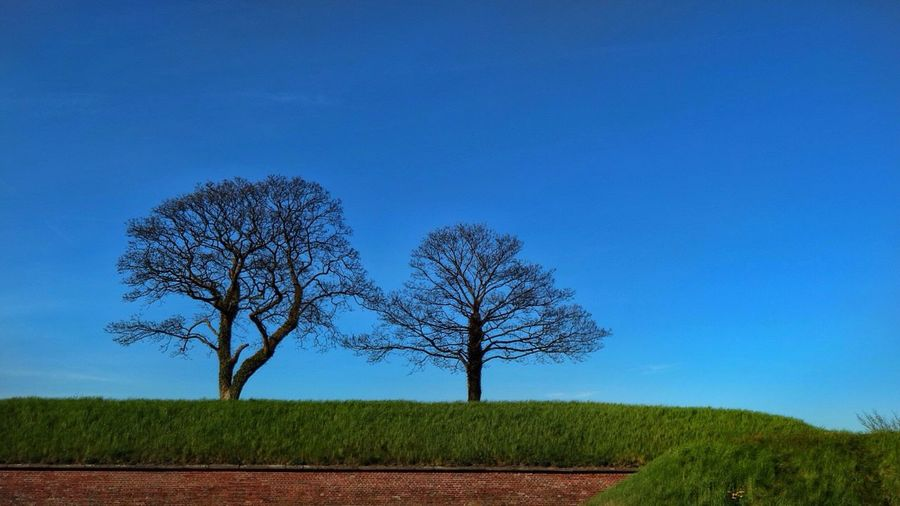Bare trees by hedge against blue sky