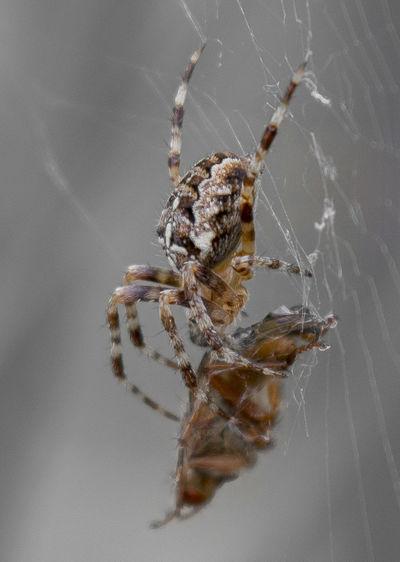 Macro shot of spider hunting prey on web