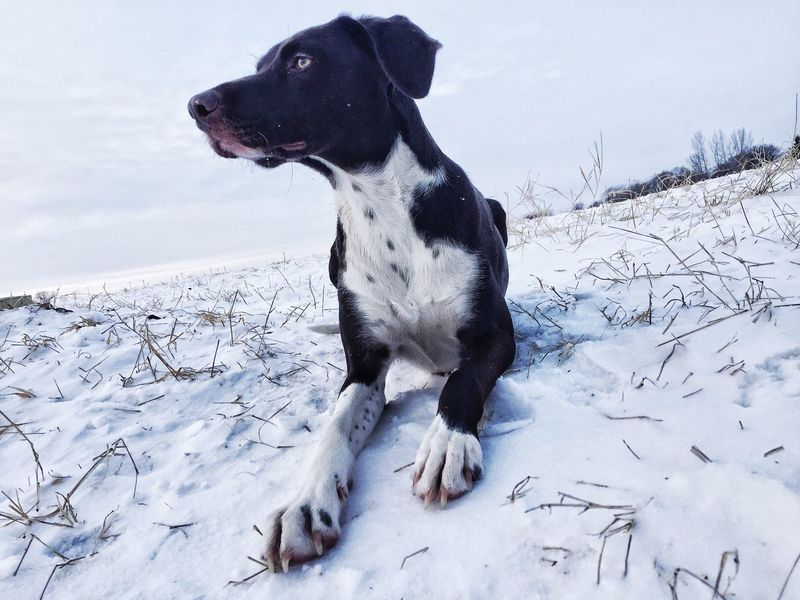 Dog Yqr Dog Park German Shorthaired Pointer Dogs Winter Snow Canada It's Cold Outside