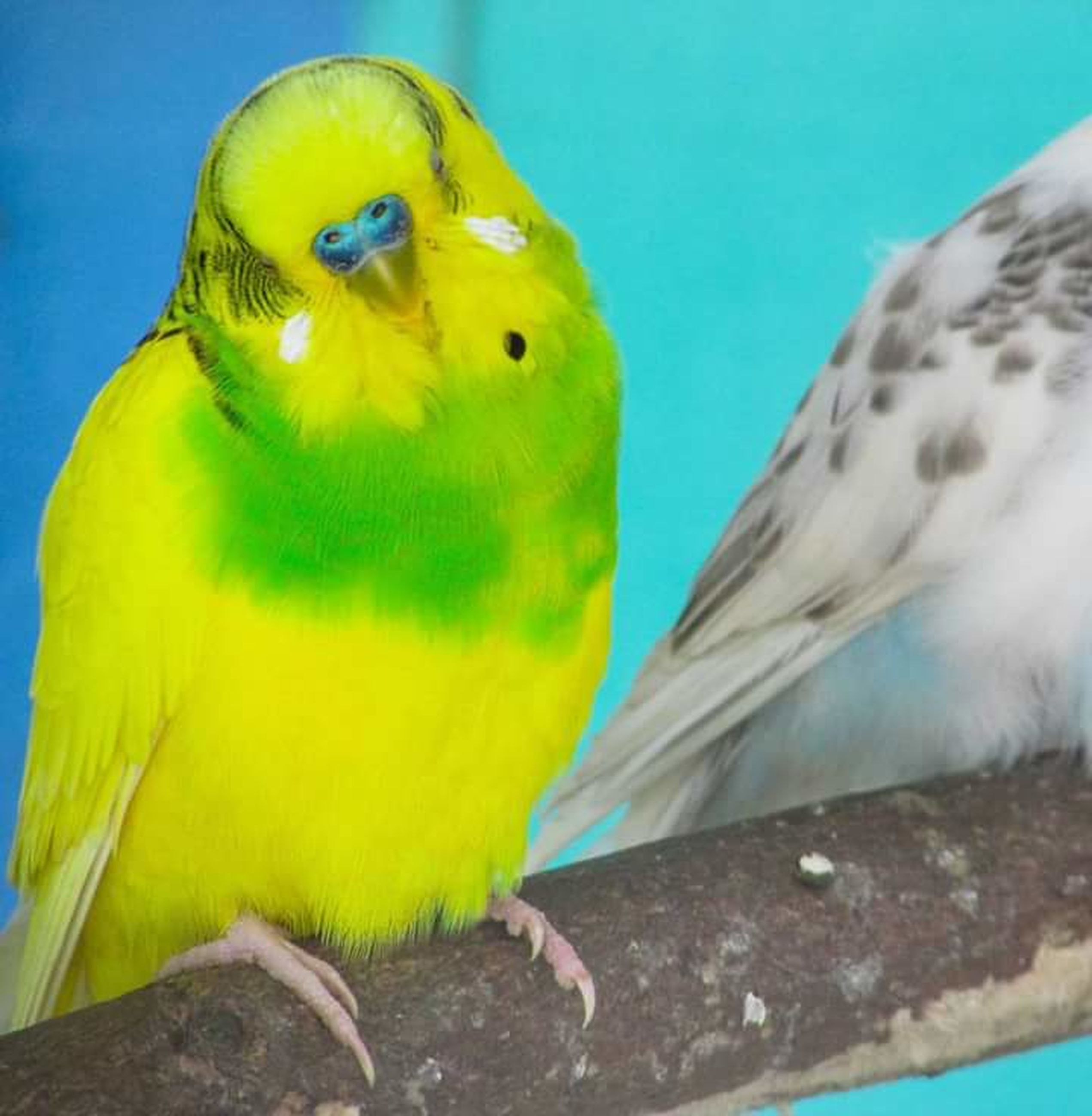 budgerigar, animal themes, yellow, parakeet, bird, close-up, parrot, perching, one animal, animal wildlife, animals in the wild, nature, beauty in nature, no people, outdoors, day