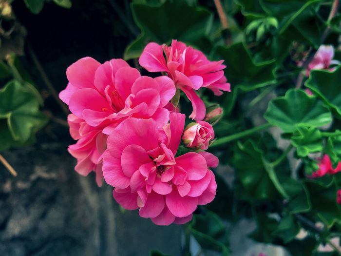 Geranium Leaves Garden Geranium Pink Flower Petal Nature Beauty In Nature Fragility Pink Color Flower Head Growth Plant Blooming Outdoors Day Freshness Close-up