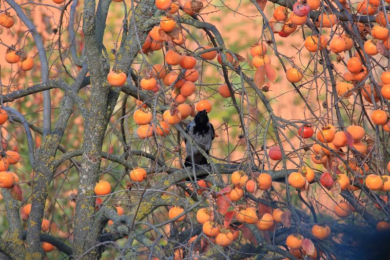 Gnam gnam EyeEm Nature Lover Camouflage Bird Inspirational Silence Of Nature EyeEm Nature Lover Artistic Expression Tamron150600mm Canon5Dmk3 Fruit Healthy Eating Food And Drink Food Growth Orange Color Plant Nature Day Fruit Tree Beauty In Nature Outdoors Abundance Freshness