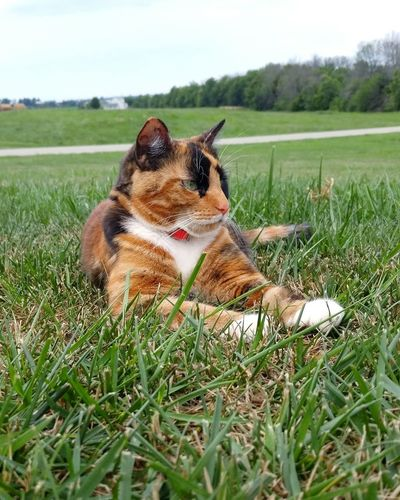 Becky. Cat♡ Cat Outdoors Cat Lovers Catoftheday Calico Cat