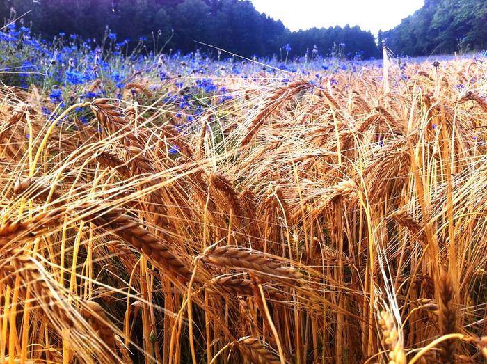 Blue flowers in the grain fields Tadaarefuge Tadaa Community Longwalks Sunny Day Blue Flowers Fields Grains Meadow