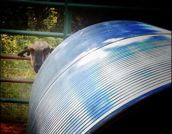 """Meet Burt. Our Shropshire Sheep! He's very camera shy and lonely. He's won lots if awards in shows loves to follow you around where ever you go. He has a """"baaa"""" that sounds like he's got a disgusted attitude, and you made him that way. Lol. Hanging Out Shropshire Sheep Camera Shy Hiding Out Peek A Boo Here I Am On EyeEm Show Sheep Showcase July My Home Home Is Where The Art Is"""