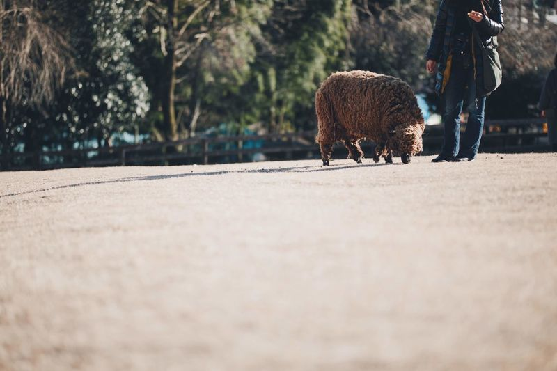 Low section of woman with sheep standing on footpath