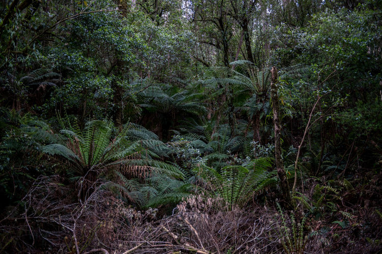 Jungle Rainforest Australia Nature Forest Wildlife Wild Victoria Plant Growth Tree Green Color Land Beauty In Nature Lush Foliage Foliage Tranquility No People Scenics - Nature Plant Part Non-urban Scene WoodLand Day Leaf Tranquil Scene Outdoors