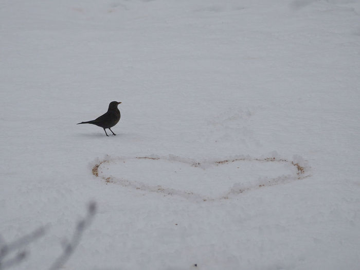 Blackbird Animals Animals In The Wild Bird Blackbird Cold Temperature Feeding Animals Feeding The Birds Heart Nature No People Outdoors Save The Nature Snow Snowy Winter Taking Photos Perching Animal Themes Capture The Moment Pattern, Texture, Shape And Form Art Is Everywhere