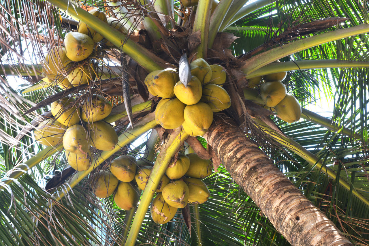 LOW ANGLE VIEW OF COCONUT PALM TREE IN GARDEN