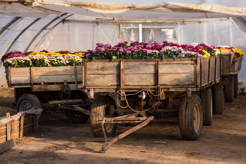 EyeEm Selects Flower Agriculture No People Day Rural Scene Outdoors Freshness Trailer Trailers Growing Growth Process Chrysanthemum Greenhouse Old
