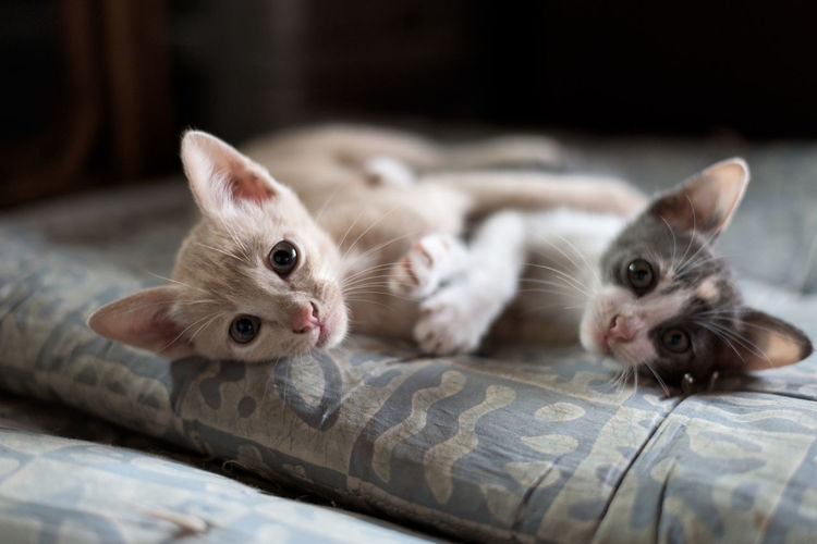Portrait of kittens on bed at home