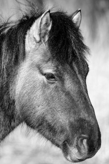 Blackandwhite Monochrome EyeEm Selects Domestic Animals Animal Themes Mammal Horse One Animal Animal Head