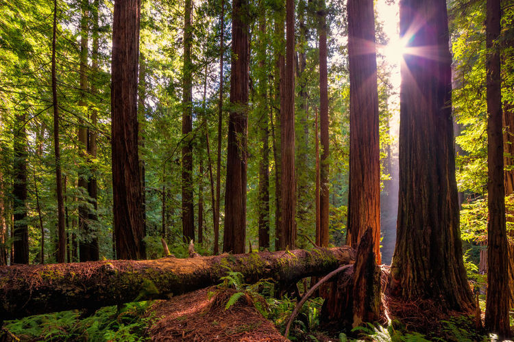 A redwood forest near Orick, California. Forest Tree Plant Land Tree Trunk Trunk Sunbeam WoodLand Sunlight Tranquility Sun Beauty In Nature Lens Flare Nature Growth Tranquil Scene Scenics - Nature Day Non-urban Scene No People Outdoors Streaming
