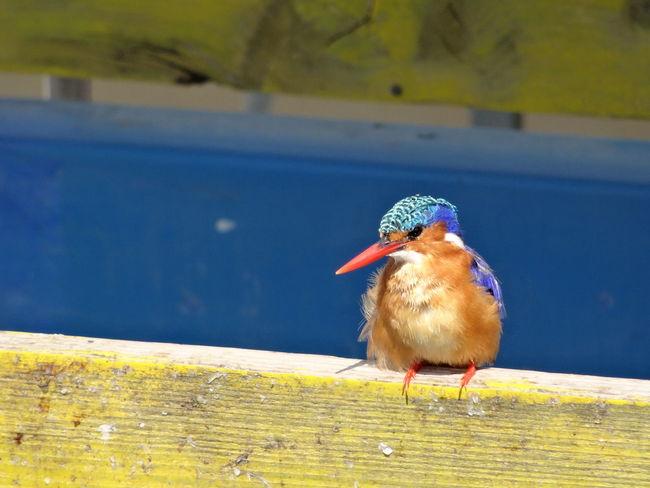 Kingfisher Birds Kingfisher, Wildlife