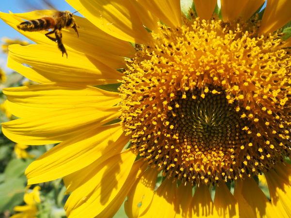 ทานตะวัน หรือ sun flowers Sun Flowers ทานตะวัน ผึ้ง