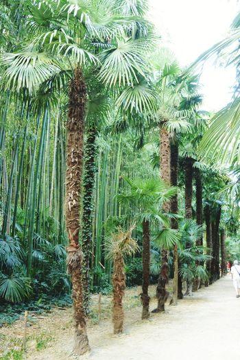 Les palmiers en rang d'oignon Palm Trees La Bambouseraie Anduze Holiday Memories South France