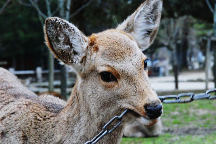 Traveling Nara,Japan Deer