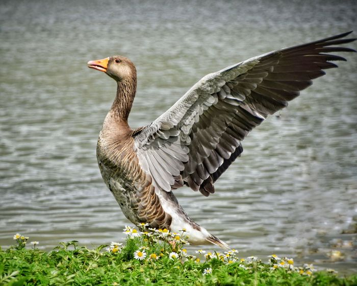Bird One Animal Animals In The Wild Animal Wildlife Nature Lake Spread Wings Water Feather  Animal Themes Day Outdoors Beauty In Nature No People Bird Of Prey Close-up Greylag Goose Greylag Goose Greylaggoose Goose Close-up Beauty In Nature Ireland Swimming Animals In The Wild