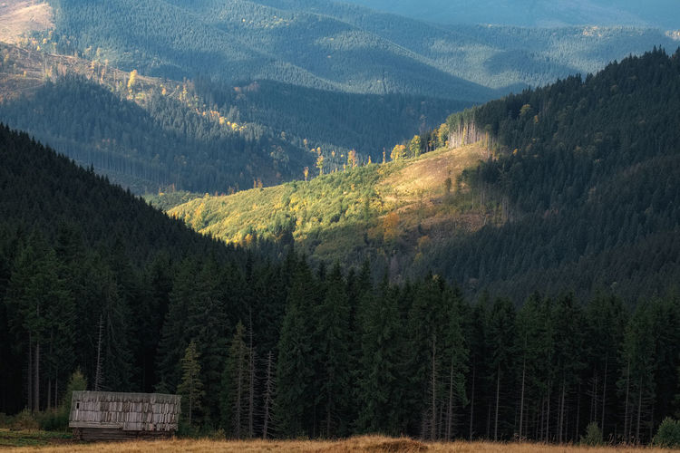 Panoramic view of pine trees and mountains