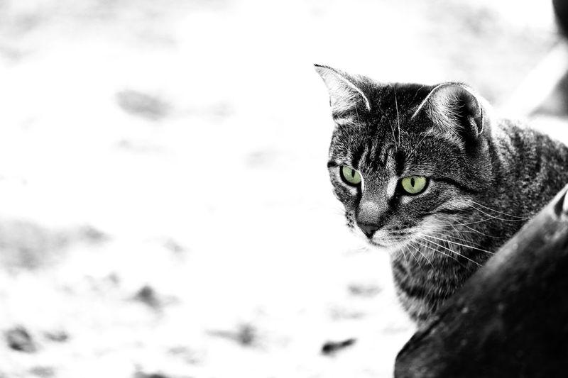 Aufmerksam Beobachten Cat Fokus Grün Hauskatze Katze Tier