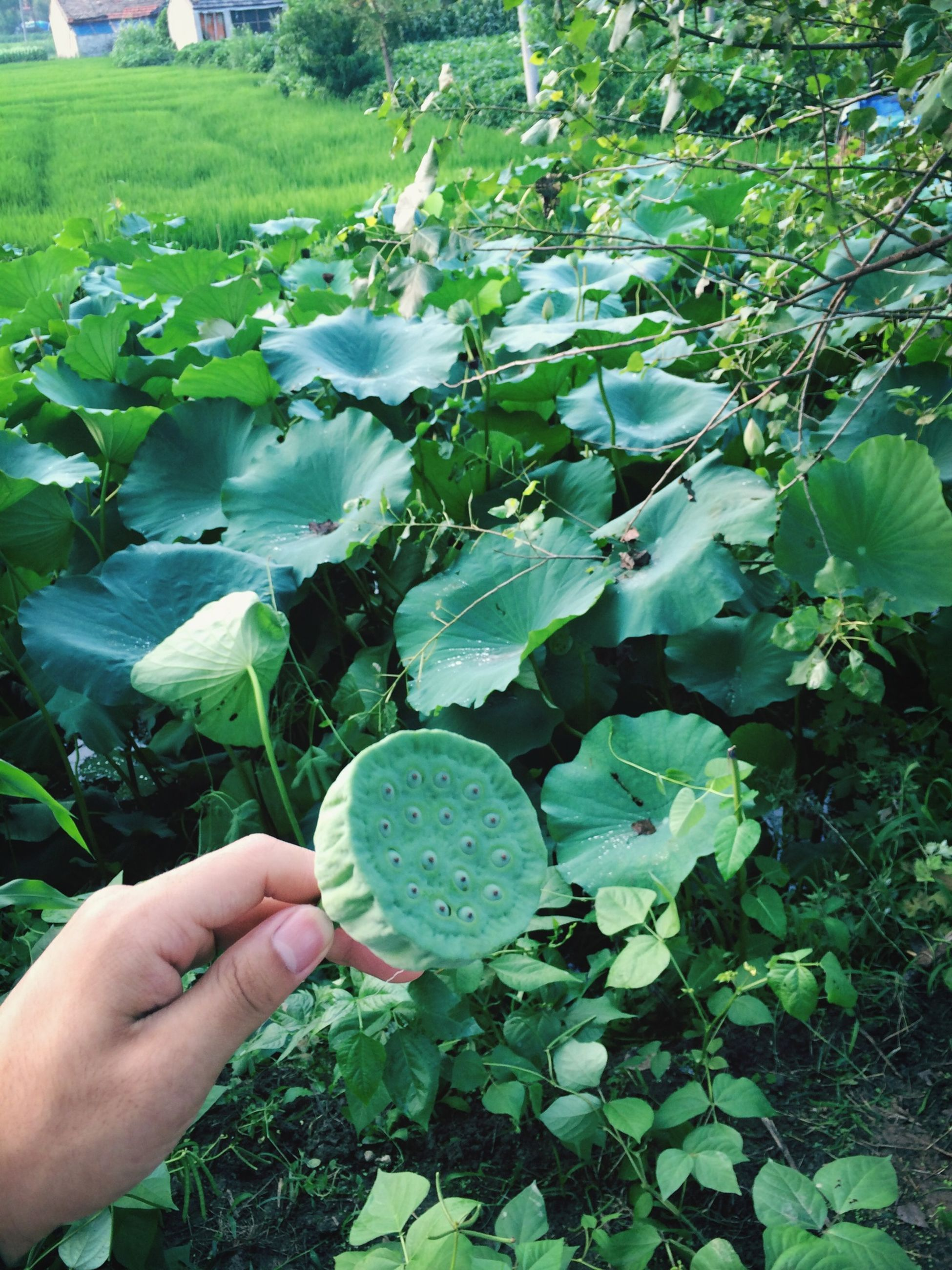 person, green color, holding, leaf, plant, growth, freshness, part of, cropped, personal perspective, unrecognizable person, food and drink, nature, lifestyles, human finger, leisure activity, close-up