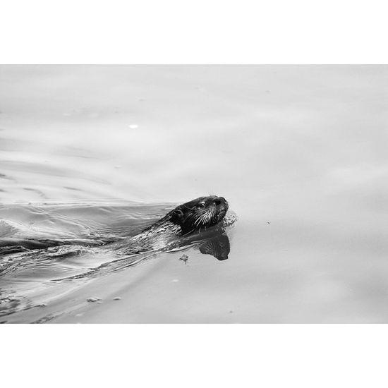 Otter starting me down at the Arboretum . Ucdavis Wildlife Lake Water Nature Swim Zoo