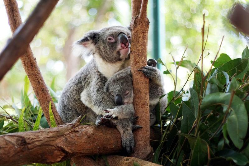 Koalas on tree