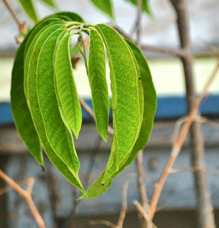 Leaf Focus On Foreground Close-up Green Color Nature Tree No People Growth Outdoors Day Freshness Bullocks Heart Fruit Tree Annona Reticulate Ramphal Fruit Tree