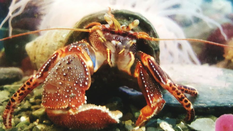 Crabs Animal Themes Animals In The Wild Close-up Wildlife Extreme Close-up Focus On Foreground Zoology Crustacean Nature Hermitcrab Hermit Crab