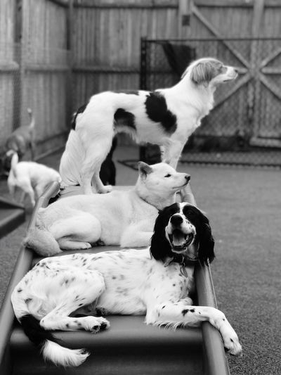 Dogs on ladder