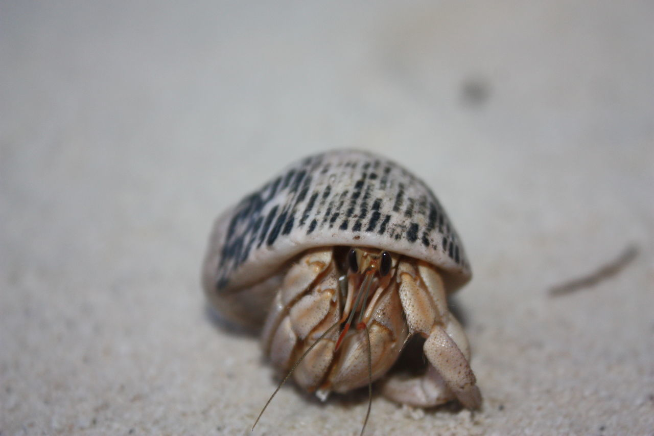 one animal, hermit crab, animal themes, sand, beach, animals in the wild, close-up, selective focus, outdoors, day, no people, sea life, nature, animal wildlife