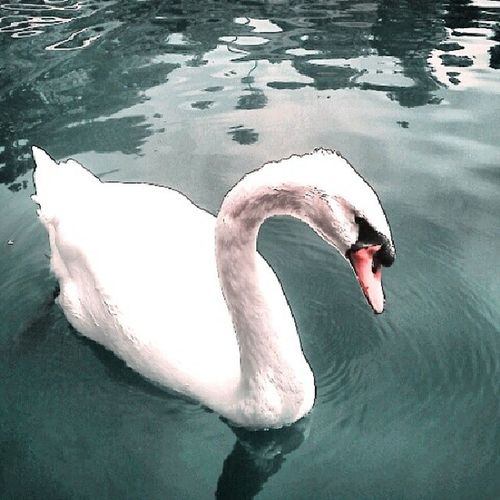 What You Lookin At swan photography california longago vintage peace animal water
