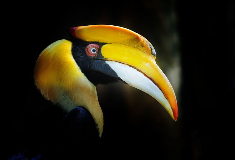 great hornbill Hornbill Great Yellow Black Tropical Bird Beautiful Nature Animal Life Forest Wild Borneo Colorful Buceros Wildlife Rainforest Tree Single Africa Feather  Creature Beak Bill Rhinoceros Billed Bright Orange Vivid Zoo Jungle Tropic Species Horn Strange Enormous Features Perching Largest Casque Malaysia Natural Amazon Mandible Strikingly Animal Themes One Animal Animal Wildlife Focus On Foreground Animal Body Part Close-up No People Animal Head  Side View Black Background Animal Eye