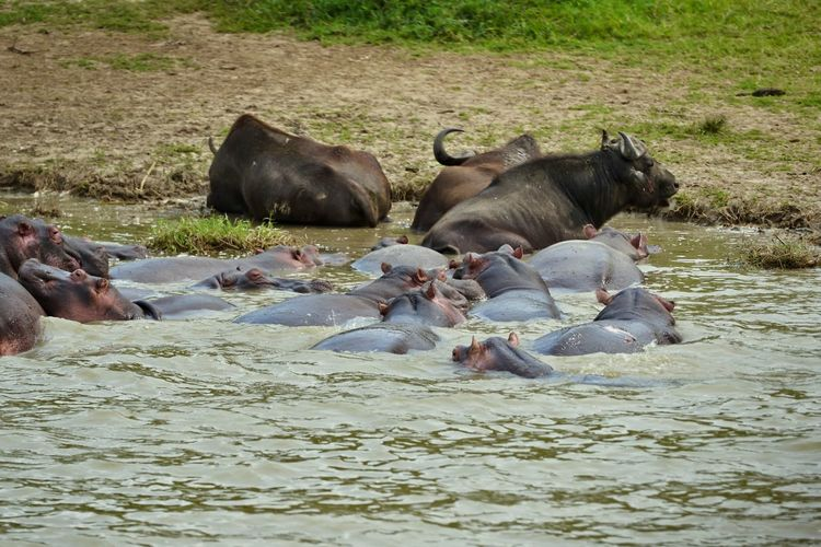 Hippos and cape buffalos in water