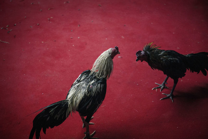 High angle view of roosters on red flooring