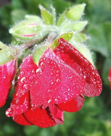 Geranium Pelargonium Calliope Dark Red  Kärlekspelargon Pelargonium Pelargon Color Colour Colours Sweden Flower