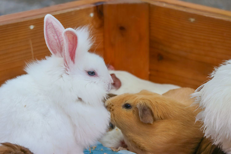Friend Life Nature Natural Eye Innocent Lifestyle Day Season  Guinea Pig Cute Fluffy Rabbit Fur Background Brown Animal White Mammal Bunny  Furry Domestic Red Pet Rodent Sitting Adorable Baby Small Farm Little Hare Funny Love Wildlife Group Organic Garden Sweet Warren Family Agriculture Village Wild Zoo Young Ear Feed  Outdoor