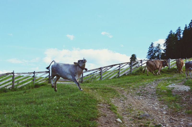 Domestic Animals Livestock Horse Mammal Animal Themes Herbivorous Day Nature Grass Field Outdoors Cowboy EyeEmNewHere Sky Green Color Grazing Standing Beauty In Nature Tree Südtirol Southtyrol  Alto Adige Italien Italia Italy Pet Portraits