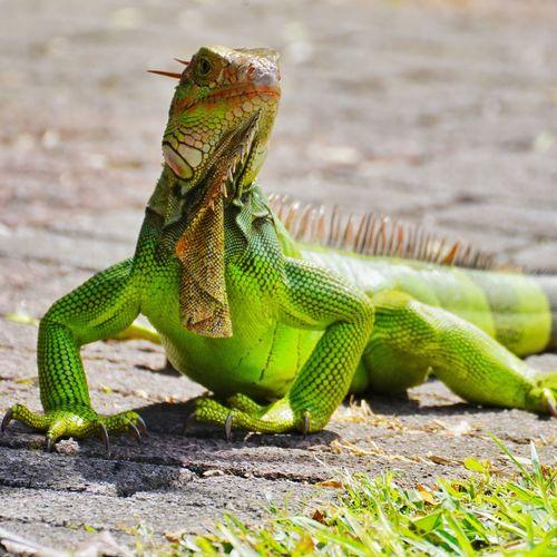 Iguana Costa