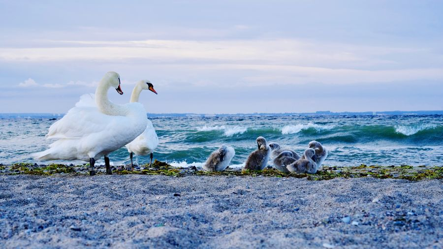 Family Family Matters Team Family Time Baltic Sea Birds Chics Swan Animals In The Wild Animal Bird Vertebrate Animal Themes Water Group Of Animals Animal Wildlife Sea Beach Sky Nature White Color Beauty In Nature Swan Young Animal Horizon Over Water Animals In The Wild Nature