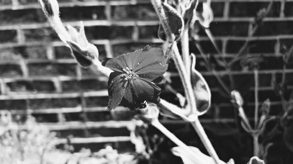 EyeEm Gallery Beauty In Nature Blackandwhite Photography Close-up Day Flower Flower Head Flowering Plant Focus On Foreground Fragility Freshness Growth Inflorescence Leaf Nature No People Outdoors Petal Plant Plant Part Selective Focus Vulnerability