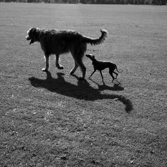 Greyhound Irish Wolfhound Little And Large Playful Dogs In The Park Sniffing Around Whippet