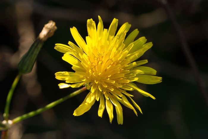 Dandelion with macro lens... Beauty In Nature Blooming Blossom Close-up Dandelion Day Diente De León Flower Flower Head Flowers Fragility Freshness Growth Macro Macro Beauty Macro Nature Macro Photography Macro_flower Nature Outdoors Petal Plant Pollen Yellow Yellow Color