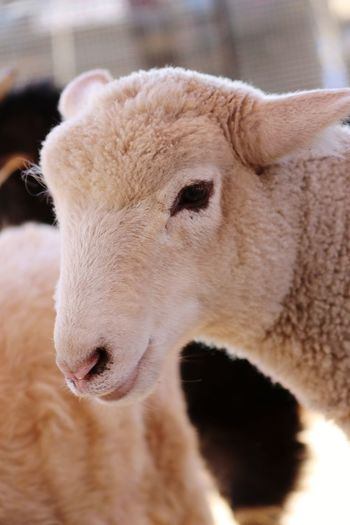 Sheep Animal Love Friendnotfood EyeEm Selects Portrait Nose Ear Young Animal Close-up HEAD Animal Head  Animal Ear Animal Nose Animal Eye Animal Hair Animal Mouth Animal Face Animal Body Part