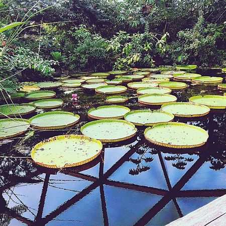 Water Pattern Full Frame Backgrounds Lily Pad Water Lily Floating Floating On Water Water Plant
