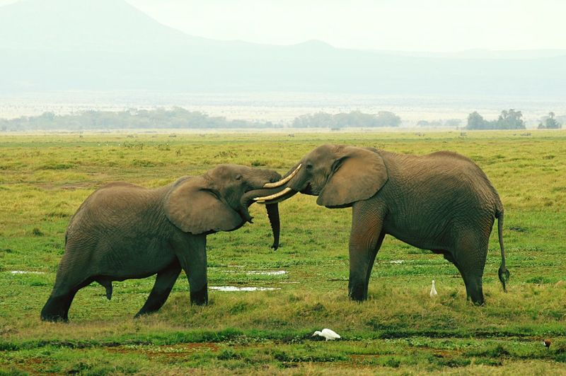 Animal Themes Landscape Mammal Two Animals Non-urban Scene Elephants Playing Elephants In Love Elephants Playing In Amboseli Travel Photography Kenya AmboseliWildlifeReserve Rickeherbertphotography Two Is Better Than One