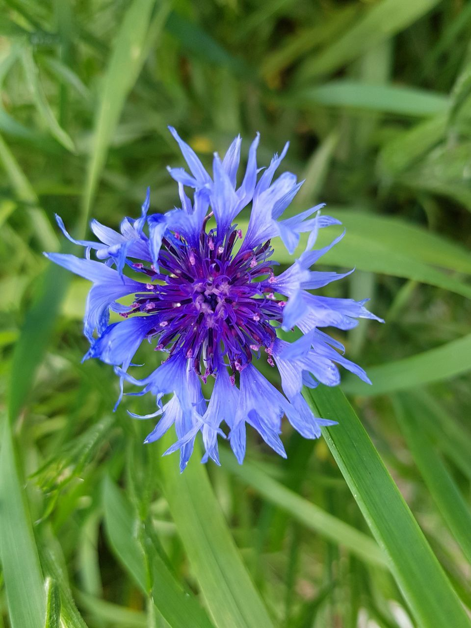 flower, nature, growth, plant, purple, blue, beauty in nature, blooming, fragility, outdoors, no people, freshness, grass, close-up, flower head, day