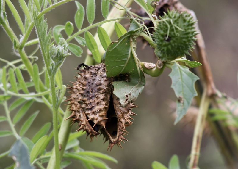beautiful and toxic nature Agriculture Autumn Beautiful Nature Better Look Twice Farm Field Green Abstract Brown Close-up Fall Flora Garden Green Color Growth Leaf Nature Outdoors Plant Roadside Wild Wilderness Datura Stechapfel Toxic