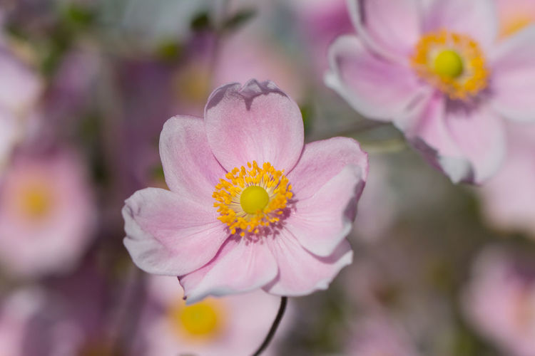 Japanese Anemone Blossom Close-up Flora Flower Flower Head Flowers Flowers, Nature And Beauty Fragility Garden Japanese Anemone Nature Petal Pink Pollen Selective Focus Softness Color Of Life Color Palette